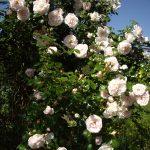 Rosenbusch auf dem Mühlenhof in Dudensen