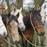Mühlenhof Pferde