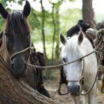 Pferde für das Hochzeitspaar