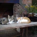 Katzen Lucy, Lilly, Elinor, Attila