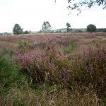 Lüneburger Heide beim Ausritt vom Mühlenhof Dudensen in Niedersachsen
