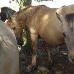 Dülmener Pferde