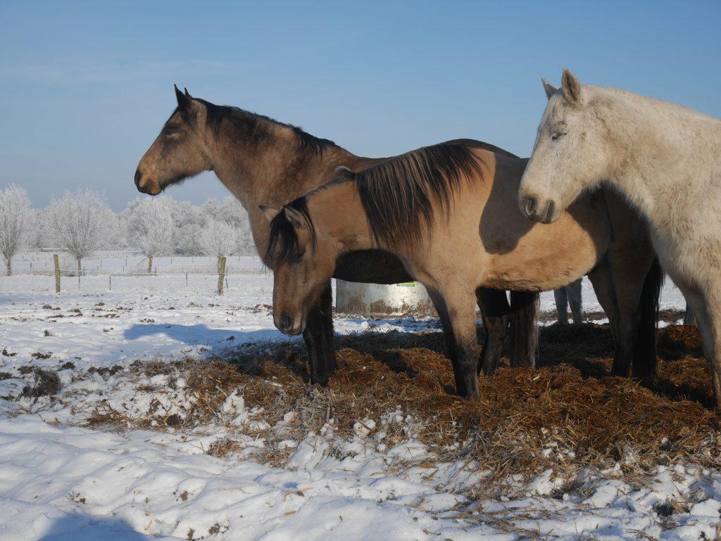 Pferde im Schneewinter