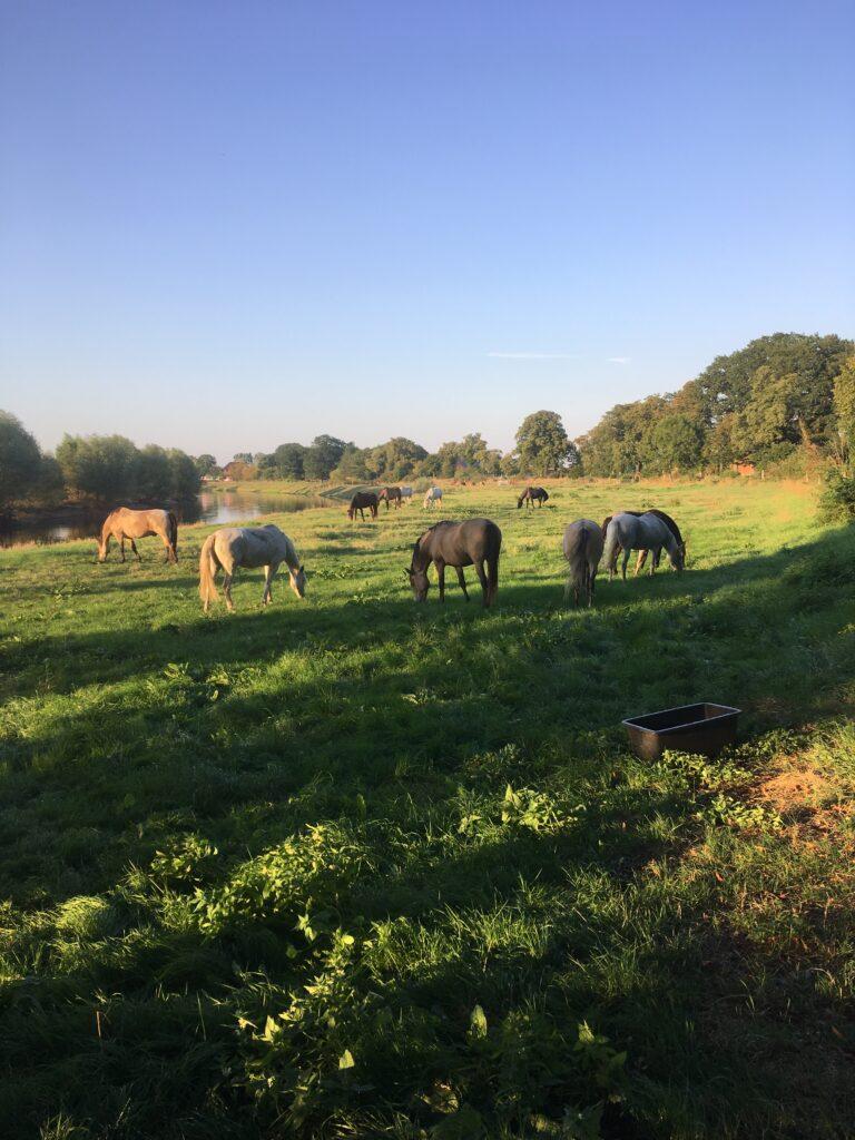 Pferde auf der Allerwiese in Niedersachsen